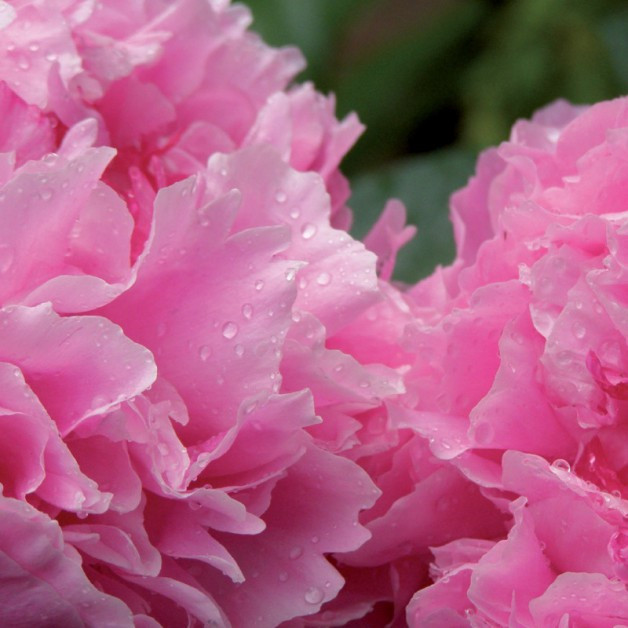 Bloemen zonder tekst: Pioen 1