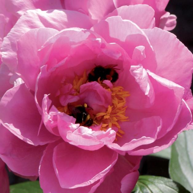 Bloemen zonder tekst: Pioen 3