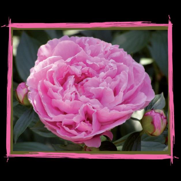 Bloemen zonder tekst: Pioen 5