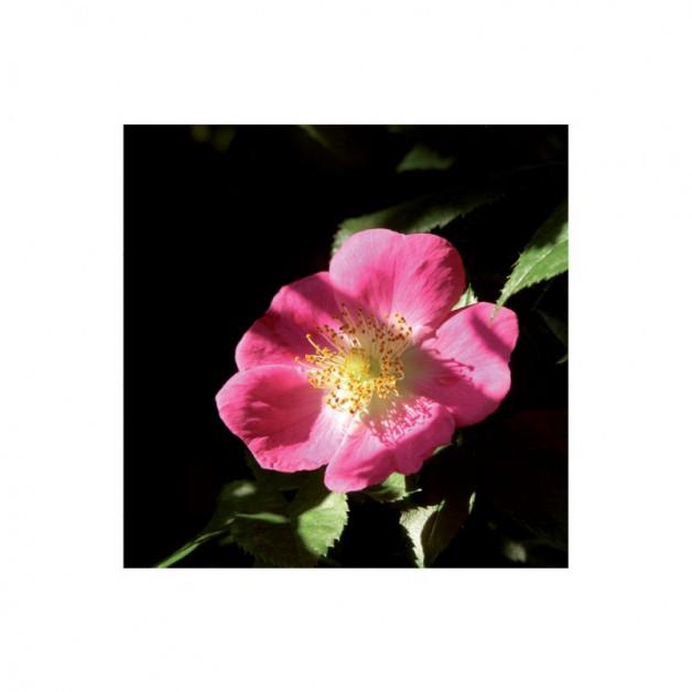 Bloemen zonder tekst: Rambler 2