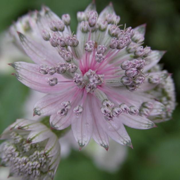 Bloemen zonder tekst: Zeeuws Knoopje